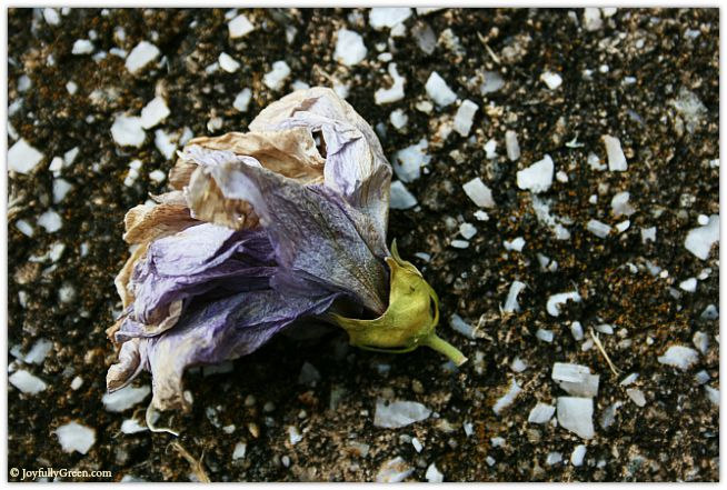 Old Rose of Sharon © Joyfully Green LLC