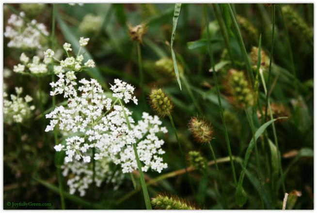 Queen Annes Lace © Joyfully Green LLC