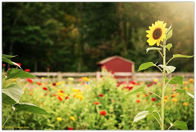Sunflower © Joyfully Green LLC
