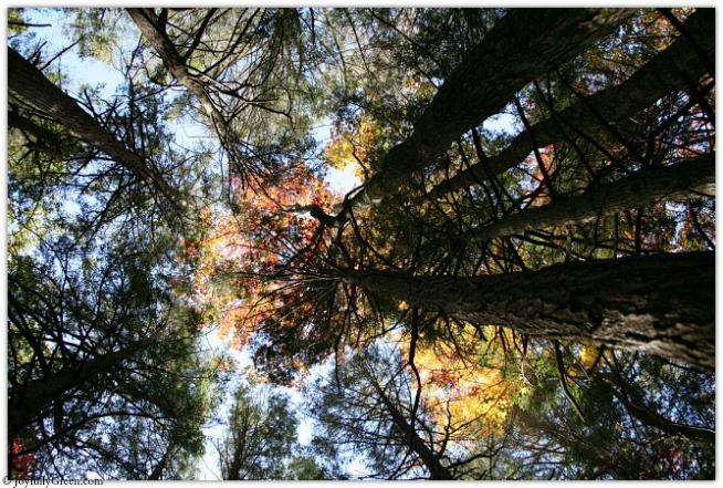 Catskills Trees 4236 © Joyfully Green LLC