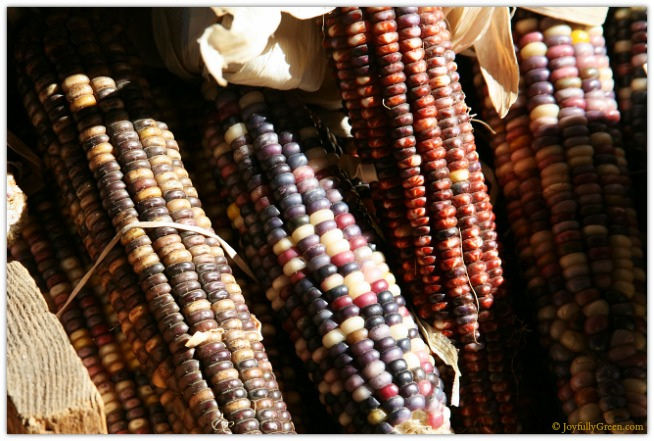 Catskills Indian Corn 3865 © Joyfully Green LLC