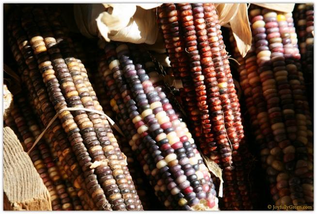 Catskills Indian Corn 3865 © Joyfully Green LLC