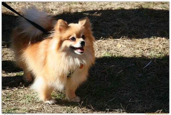 Catskills Pomeranian 3854 © Joyfully Green LLC