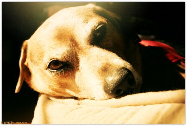 Dog Nap IMG_4468 © Joyfully Green LLC