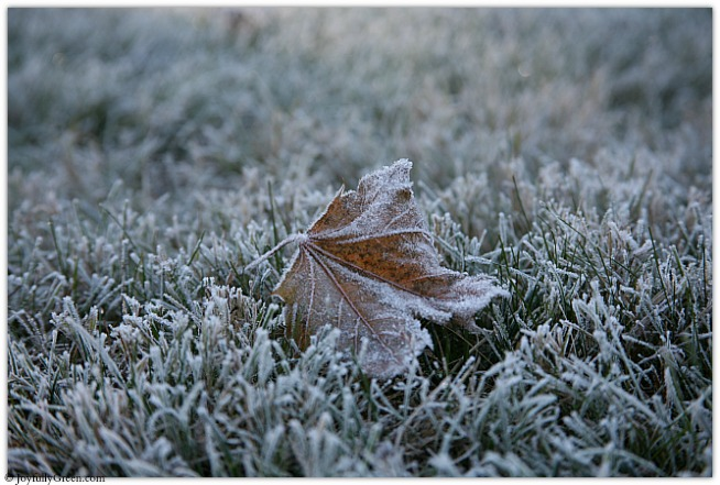 Frost on Leaf © Joyfully Green LLC IMG_4349