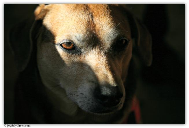Dog IMG_7426 © Joyfully Green LLC