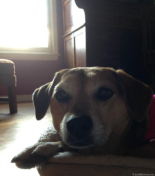 Dog Resting IMG_0048 © Joyfully Green LLC