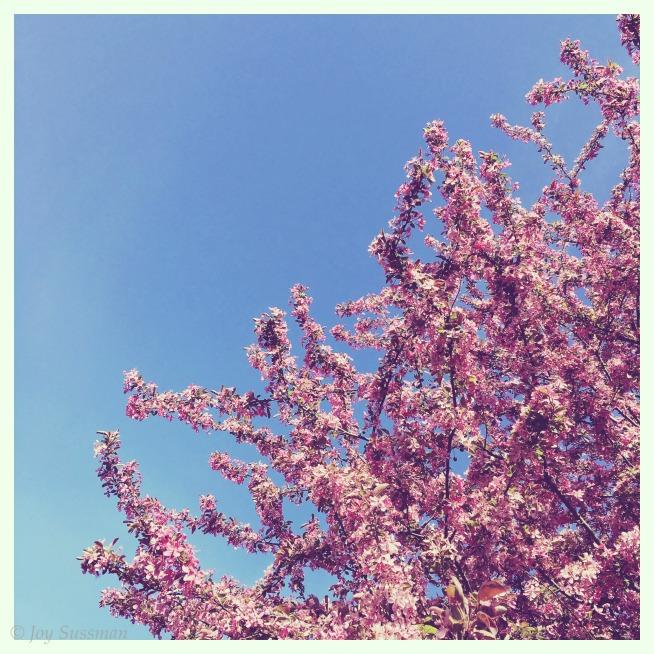 Pink Blossoms © Joy Sussman Joyfully Green LLC
