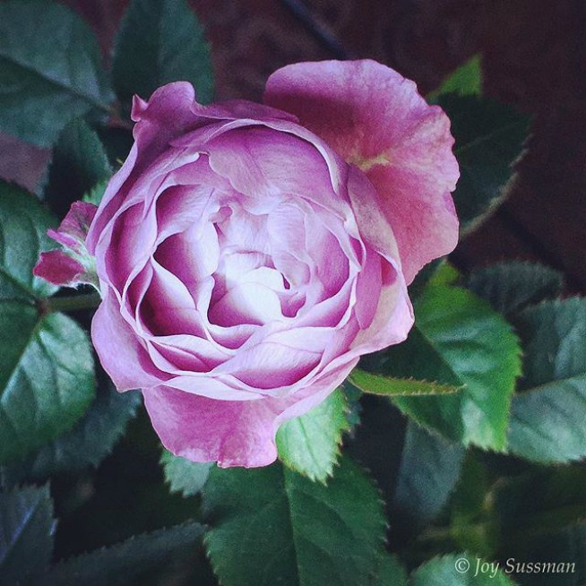 Pink Rose resized © Joy Sussman Joyfully Green LLC