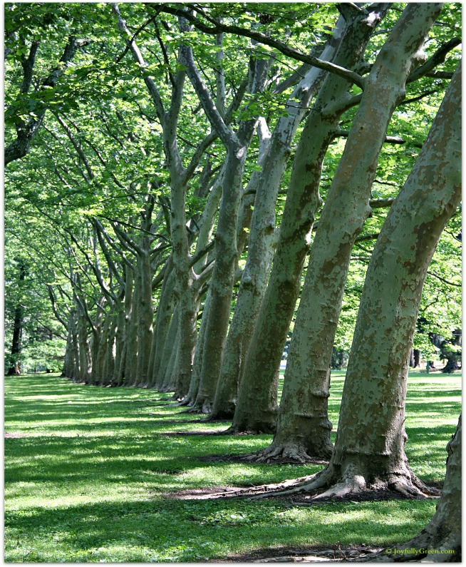 Trees at Greenwood © Joy Sussman - Joyfully Green LLC