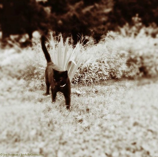 Black Cat in the Meadow © Joy Sussman Joyfully Green LLC
