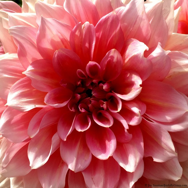 Maine Dahlia © Joy Sussman Joyfully Green LLC