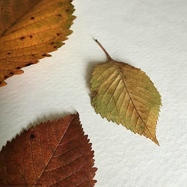 Autumn Leaves © Joy Sussman - Joyfully Green LLC