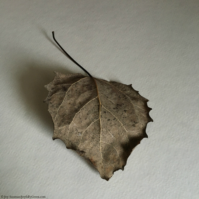 Leaf in September © Joy Sussman - Joyfully Green LLC