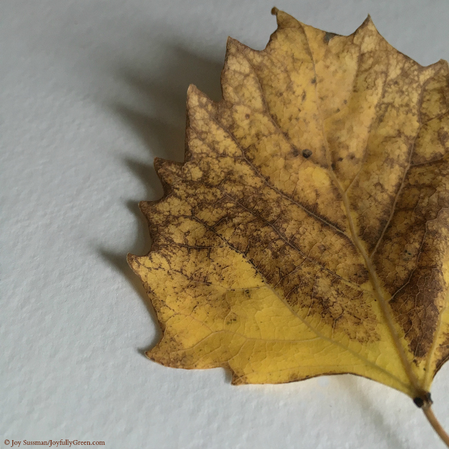 Yellow Leaf © Joy Sussman - Joyfully Green LLC