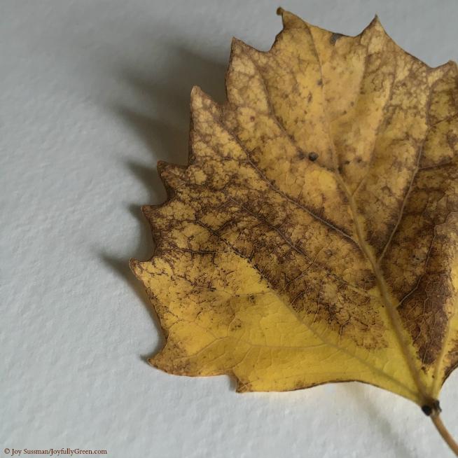 Yellow Leaf © Joy Sussman - Joyfully Green LLC