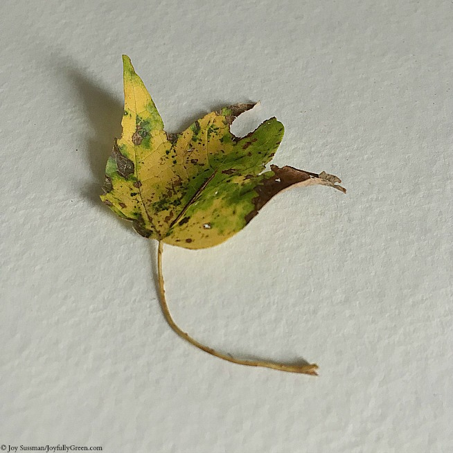 Autum Leaf 2 © Joy Sussman - Joyfully Green LLC