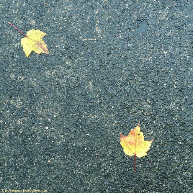 Leaves on Pavement 2 © Joy Sussman - Joyfully Green LLC