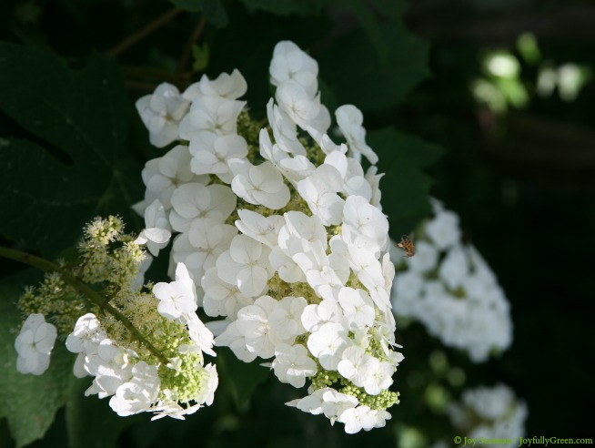 White Blooms © Joy Sussman - Joyfully Green LLC