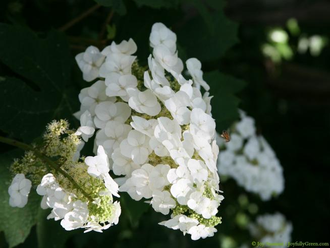 White Blooms © Joy Sussman - Joyfully Green LLC
