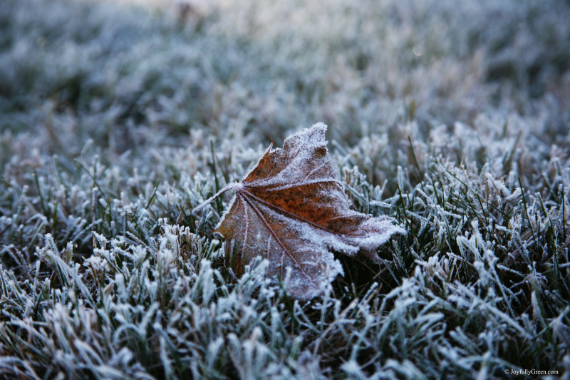 Frost on Leaf © Joy Sussman - Joyfully Green LLC - Reala IMG_4349