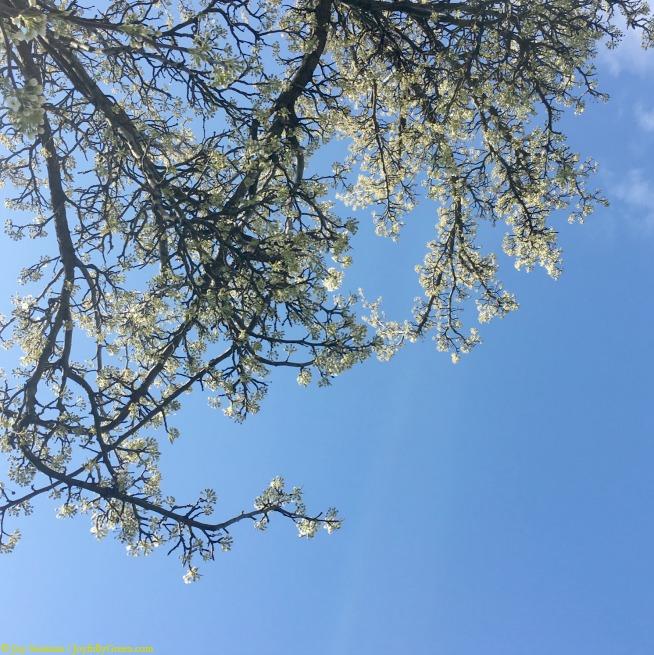 Spring Pear Trees © Joy Sussman - Joyfully Green LLC