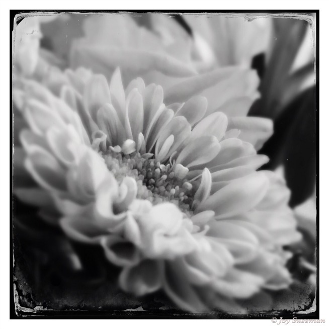 Pocket Photography Monochrome Flowers 654 © Joy Sussman