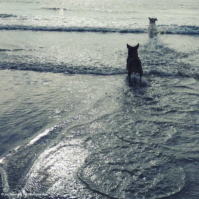 Dogs at Beach © Joy Sussman - Joyfully Green LLC