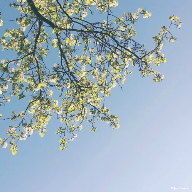 Blossoming Branches 2 © Joy Sussman Joyfully Green LLC