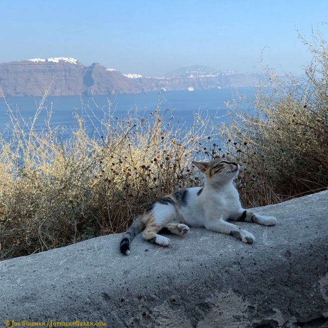 Cat in Santorini © Joy Sussman Joyfully Green LLC
