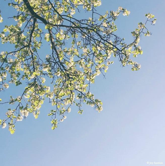 Blossoming Branches 2 © Joy Sussman Joyfully Green LLC