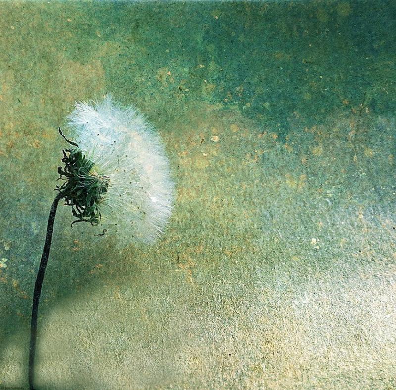 Dandelion at Dusk © Joy Sussman - JoyfullyGreen.com Highest Res July 2020